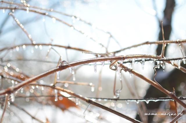 лед на виноградном кусте
